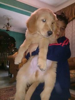 for sale Golden ret puppies