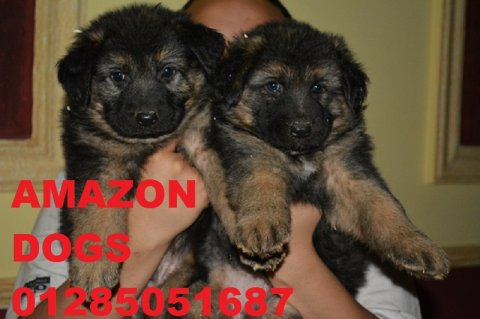 SHOW LINE PUPPIES FOR SALE
