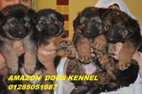 صور SHOW LINE PUPPIES FOR SALE  2