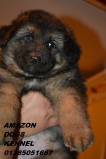 صور SHOW LINE PUPPIES FOR SALE  4