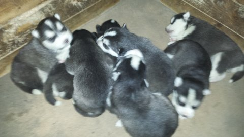 صور Purebred male and female siberian husky  puppies 1