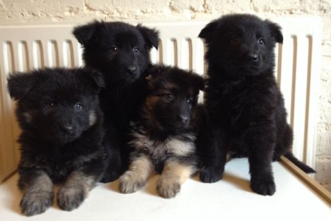 Super german shepherd puppies needing a forever home