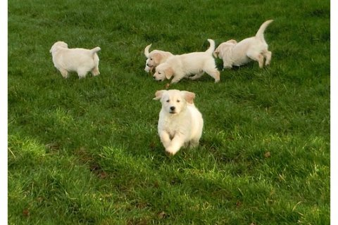 Outstanding labrador  puppies available.