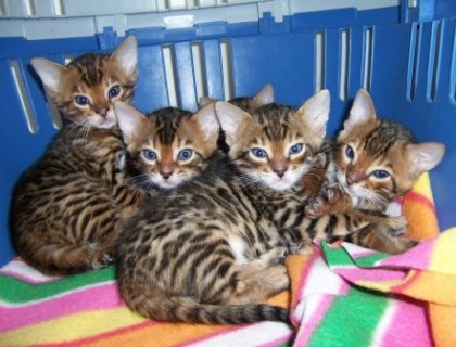 Adorable Bengal Kittens for Adoption.