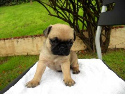 صور AKC Pups Pug Puppies 1