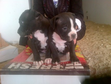 صور Pitpull puppies for sale 2