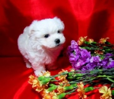 Tea-cup Maltese Puppies For Sale!
