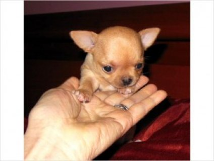 Home-raised Teacup Chihuahua Puppies