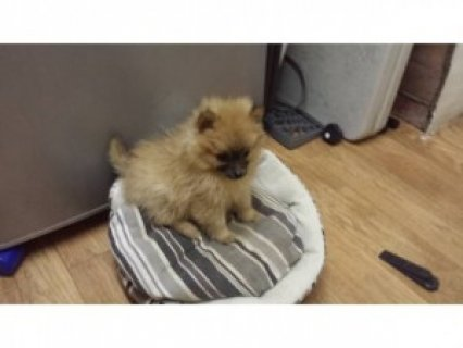 Pomeranian Female Puppy for Adoption