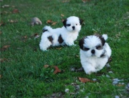 Shih-Tzu puppies