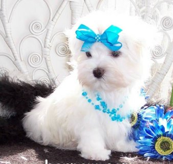 Adorable Maltese puppies available for adoption