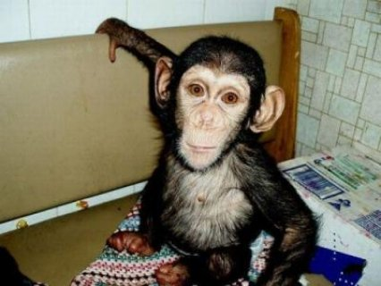 18 WEEKS OLD BABY CHIMPANZEE FOR ADOPTION