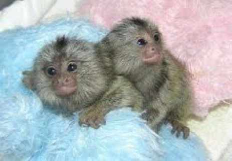 Twins Marmosets Monkeys