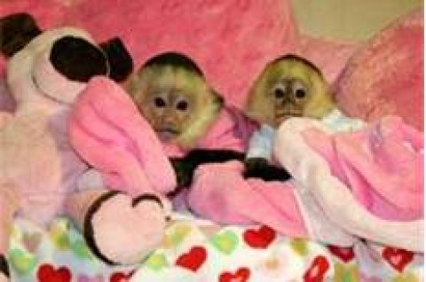 cute babies capuchin monkeys for sale