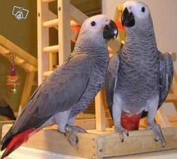 African Grey Parrots for adotion