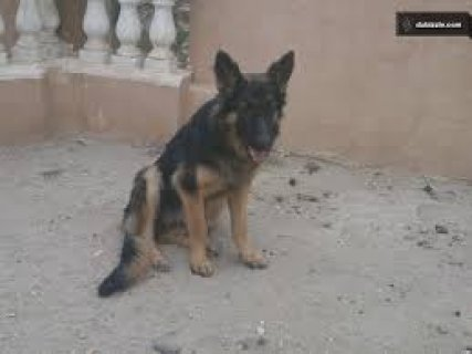 fmale german shepard for sale 9 month