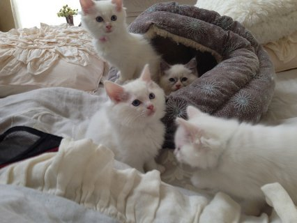 Snow White persian  Kittens for good homes(10weeks old)
