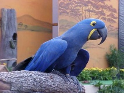 Affectionate Hyacinth Macaw Parrots1