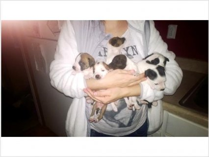 Chiweenie puppies for sale!!!!