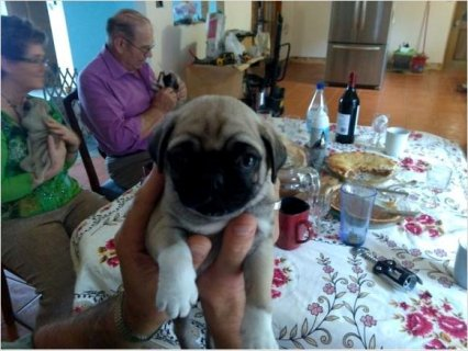 Pug - Male and Female For Sale.