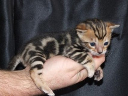 Bengal Kittens ready now for a new home.