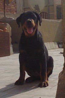 Rottweiler For Sale....