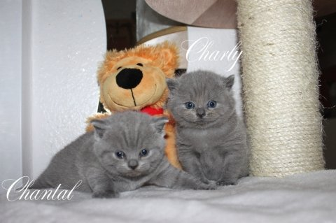 Lovely and cute looking british shorthair  kittens available.,,