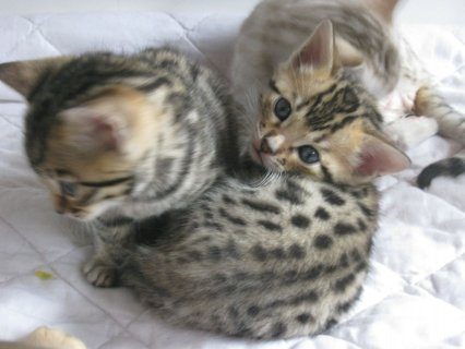 Lovely and cute looking Bengal kittens available.