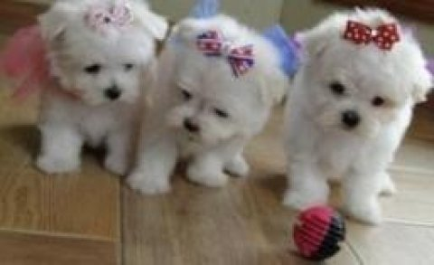 Lovely Teacup Maltese Puppy Available