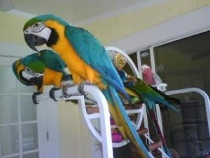 Hand reared,tame and talking, very affectionate and loving birds