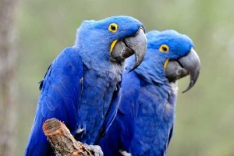 PAIR OF HYACINTH MACAW BIRDS FOR ADOPTION