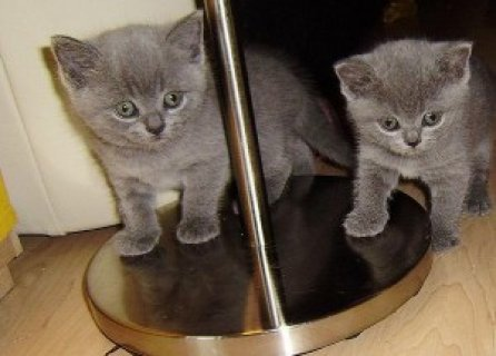 Bristish Shorthair Kittens
