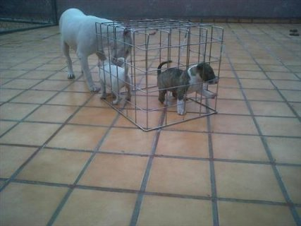 Cute Bull Terrier puppies now available for adoption