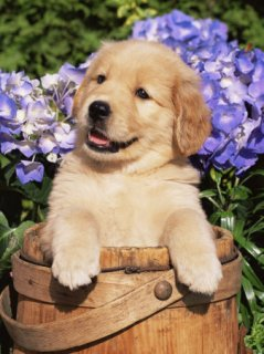 صور  Cute golden retriever puppies for your home Still available and 1