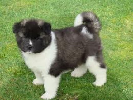 Spring Akita puppies ready for your home