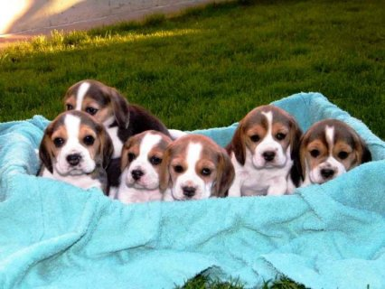 Registered beagle puppies available..