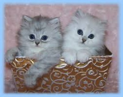 Persian kittens for sale All Now