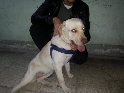 صور Labrador Retriever for sale 2