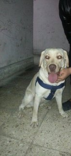 صور $Labrador Retriever for sale 3