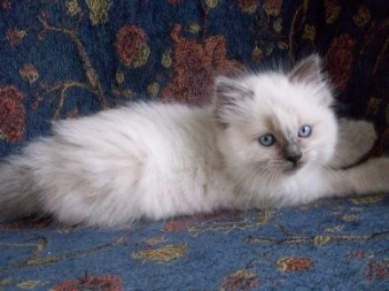 Ragdoll Kittens for sale, Male and Female