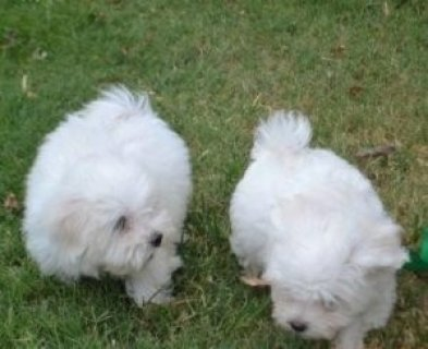Lovely Teacup Maltese Puppies For New Homesw