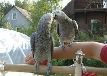 Beautiful african grey parrots for xmas