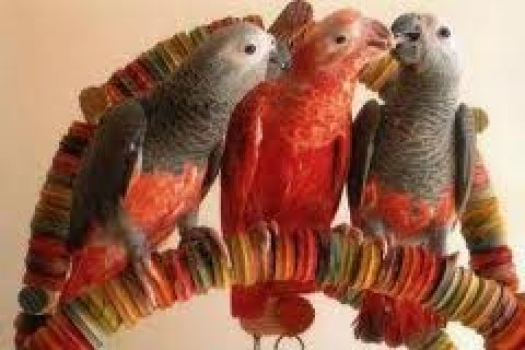 red talking african grey parrots