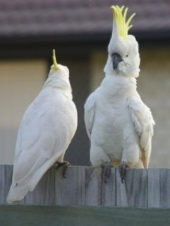 Tame pair of cockatoos