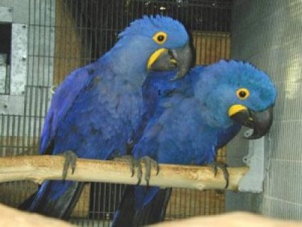 Hyacinth Macaw Parrots for good homes