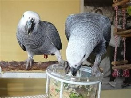 a pair of blue and gold macaw parrots for adoption