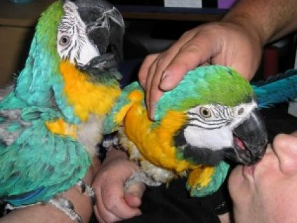 Macaw Parrot for Adoption