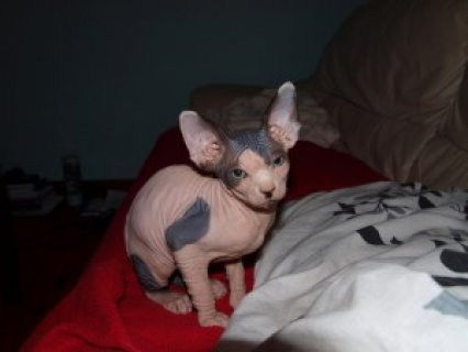 Male and Femle Sphynx Kittens.....