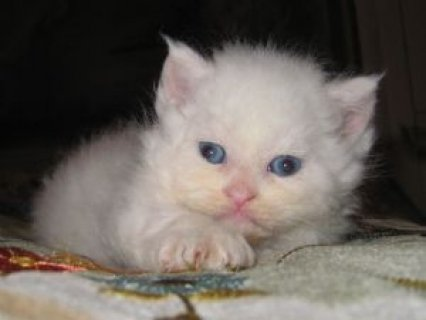 Sweetest ever Persian kittens for adoption