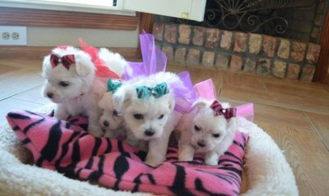 Twin Maltese Puppies for Sale